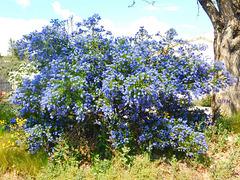 Buisson bleu*****************
