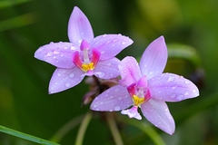 Petite orchidée sauvage ;  Spathoglottis pacifica