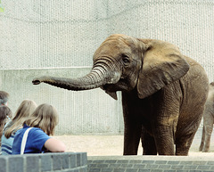 Female African Elephant, London Zoo, 1980