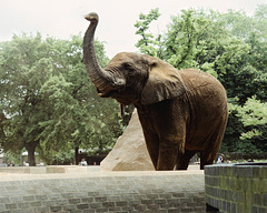 Male African Elephant, London Zoo, 1980