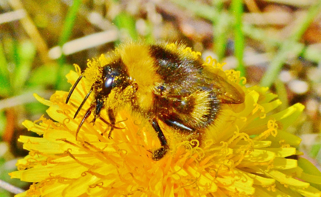 Pollen covered Bee in Dandelion!