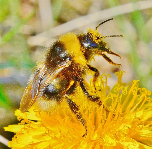 Pollen covered Bee in Dandelion!