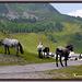 Noriker Morenkopf Pferde
