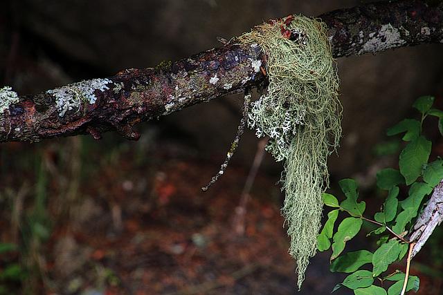 """Lichen """" les cheveux de la sorcière """""""