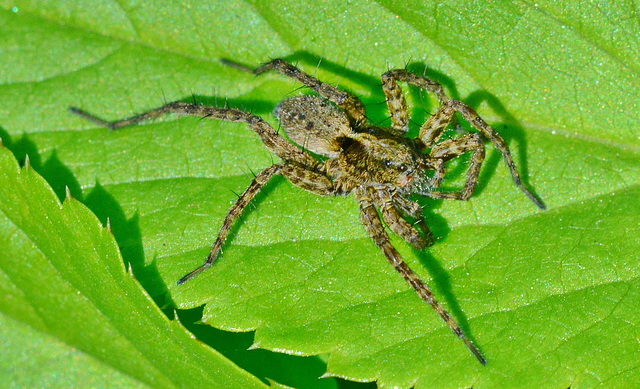 Hunting/Wolf spider??