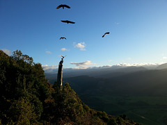 Kea On Takaka Hill. Nelson New Zealand