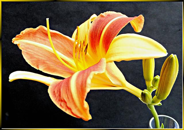 Taglilien (Hemerocallis) ©UdoSm