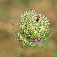 Wild Carrot with Soldier Beetle