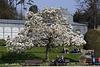 Magnolienbaum (Wilhelma)