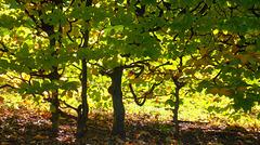 Beautiful Beech Hedge