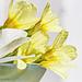 Frühlingsblüher (2xPiP)