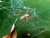 what spider makes this criss-cross web?| wirwarweb van welke spin?