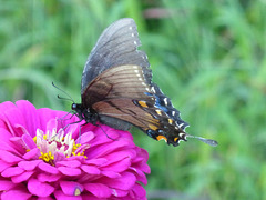 Schmetterling -2