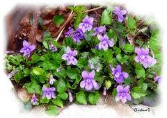 Violettes des bois ***  Wood violets