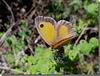 Pyronia tithonus femelle