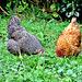 Quietly Pecking