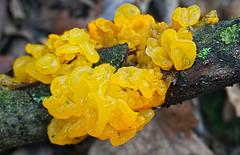 Goldgelber Zitterling - Tremella mesenterica - Yellow brain