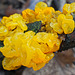 Goldgelber Zitterling - Tremella mesenterica - Yellow brain