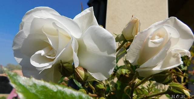 Roses**********chez mon fils********