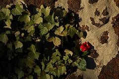 Rose 6/50 : Scheue Schönheit