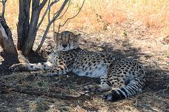 Namibia, Cheetah in the Okonjima Nature Reserve