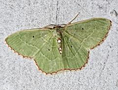 A156512 Copy DxOdM · Moth · Papillon de Nuit