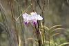 Arundina graminifolia orchidée sauvage du Kilauea