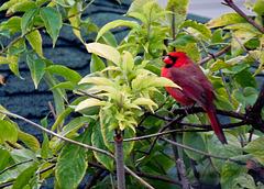 Un cardinal chez-moi !