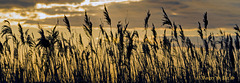 Rushes in evening breeze