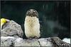 Pinguinkücken
