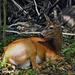 st-bruno-deer-DSC 1710