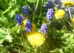Löwenzahn und Perlhyazinte - gelb und blau