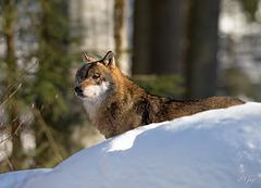 IMG 7419 Loup