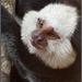 Weißkopf-Büschelaffe