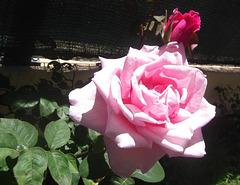 Bem vinda rosa linda