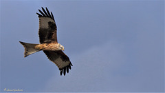 Milan royal - Milvus milvus - Red Kite