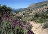 Spanish lavender, Sierra de La Cabrera