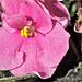 Usambara Pink