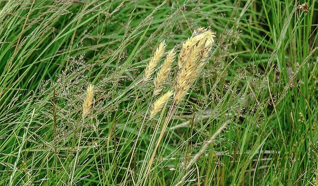 20180617 4055CPw [D~MI] Gras, Großes Torfmoor, Hille