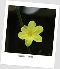 Première fleur