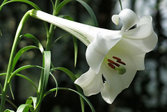 Lilium sargentiae (Liliacées, Chine)