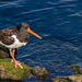 Oystercatcher Wallpaper 16:9 Facing right