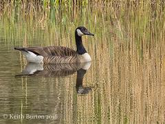 Canada Goose on Golden Pond