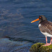 Oystercatcher Wallpaper 16:9 Facing Left