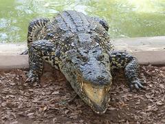 A hungry crocodile