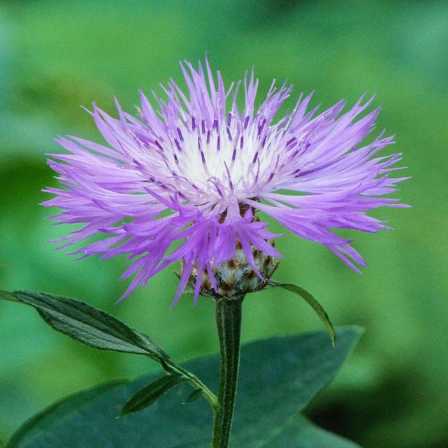 Delicate Cornflower