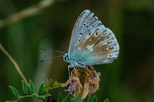 Polyommatus coridon - Eine kleine Schönheit - A small beauty