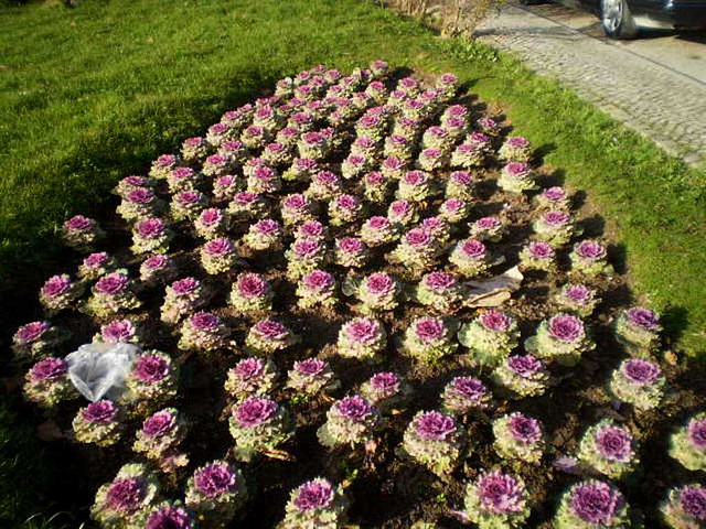 Cabbages flowerbed.