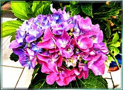 Hydrangea purple, pink, magenta, blue, white... ©UdoSm