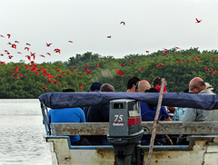 Watching Scarlet Ibis at Caroni Swamp, Trinidad